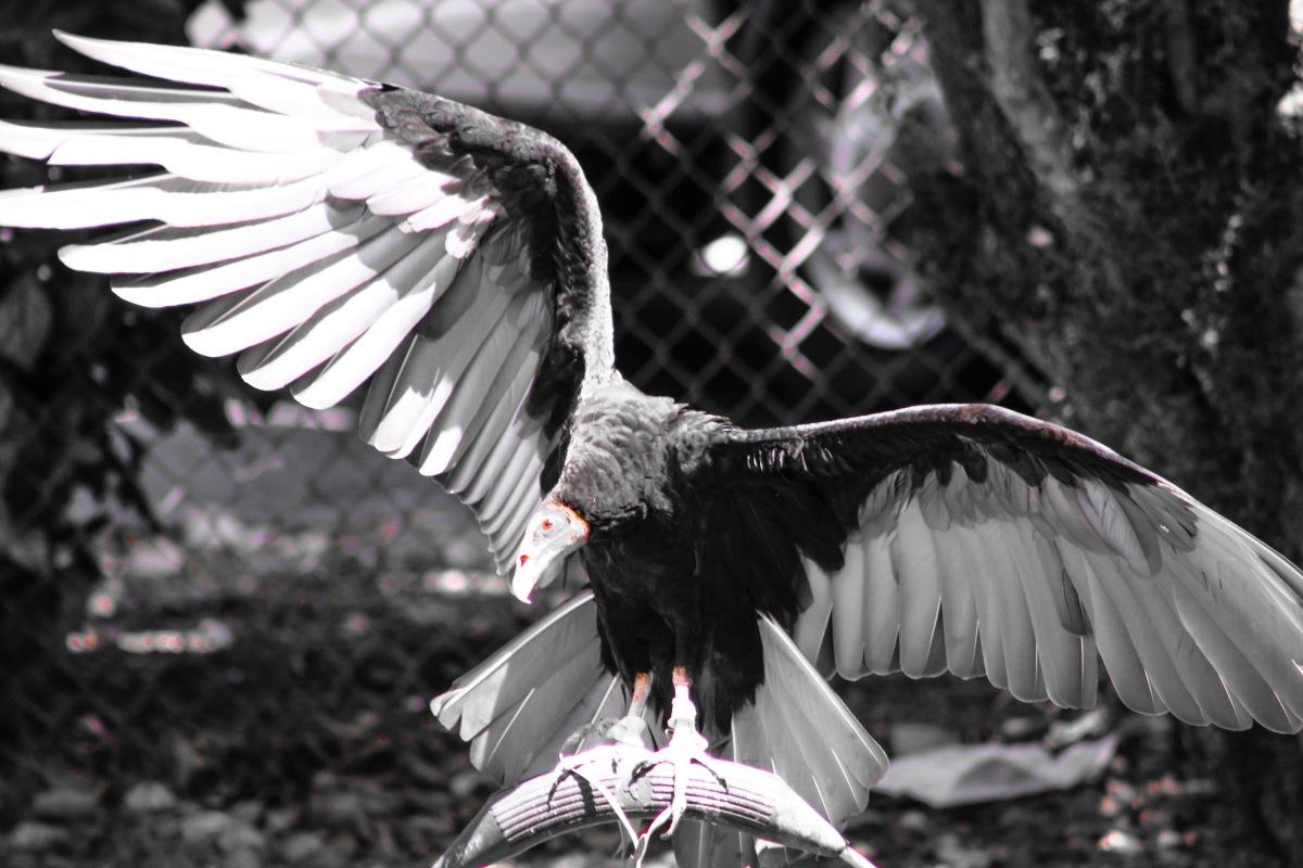 Vulture in drama