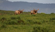 Tule Elk bulls (1 of 1)