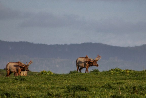 Tule Elk bulls2 (1 of 1)